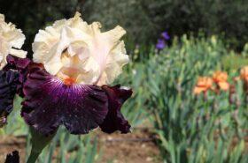 Il giardino dell'iris presenta tantissime varietà provenienti da tutto il mondo. SI visita ad aprile maggio quando fiorisce. COme visitarlo? con macchina fotografica alla mano e scarpe comode