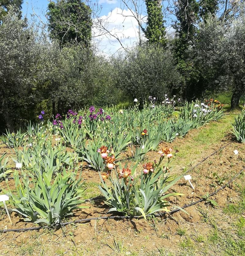Nella foto si può capire che il giardino dell'iris di Firenze si trova sul pendio di una collina. Il giardino è visitabile dal 25 aprile al 20 maggio