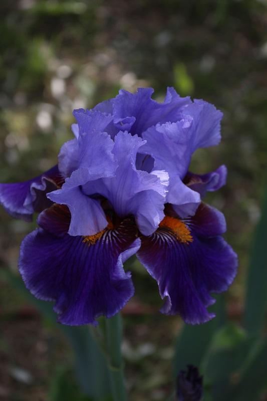 Fioritura del giardino dell'iris di Firenze. Visitarlo a metà maggio è il momento migliore!